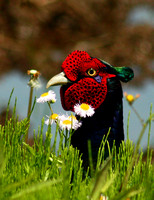 Smelling Daisies A Male Japanese Green Pheasant. キジのオス