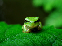 Japanese Green Tree Frog  アマガエル