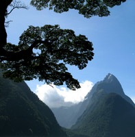 Mitre peak and Mountain Beech Tree