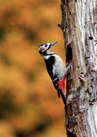 Great Spotted Woodpecker  アカゲラ