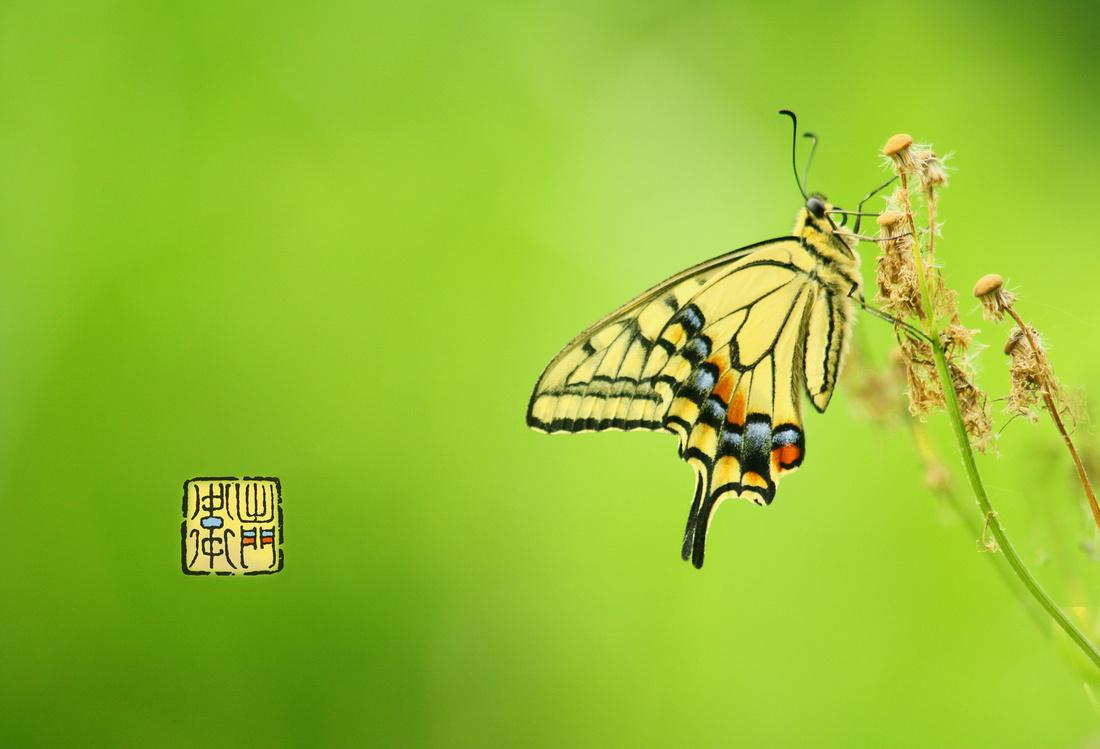 Ageha Swallowtail