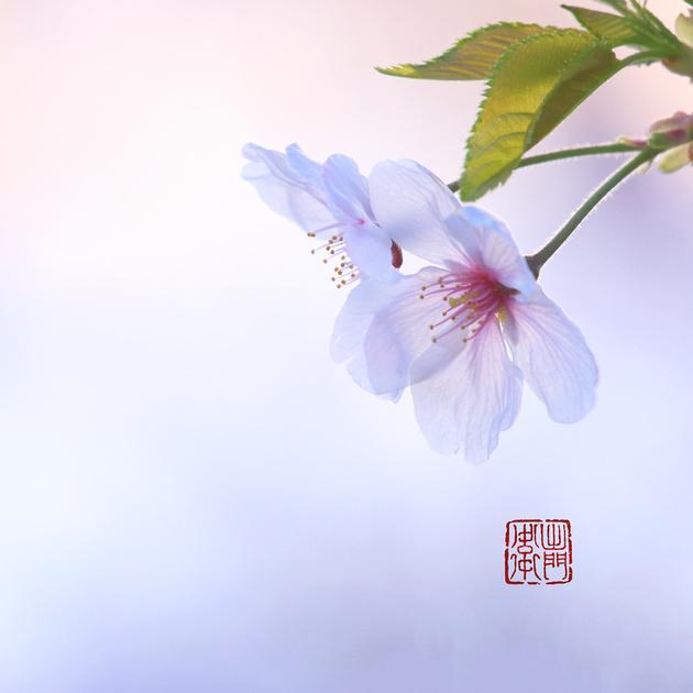Sakura_2370 Hanko