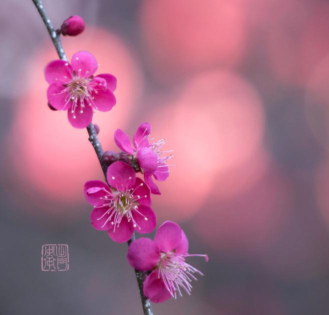Pink Plums Dfraw _4951 Hanko