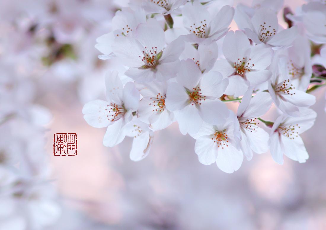 Soft Sakura Done2017 _0137 Hanko
