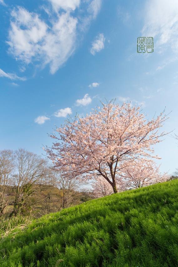 Sakura tree Dfraw _8368 Hanko