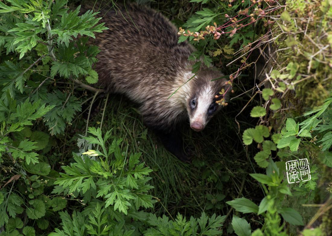 Wild badger dfraw _2042 done Hanko