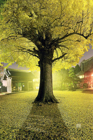 Golden Gingko Tree