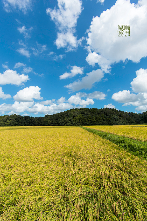 Yellow Rice Dfraw _1064 hanko