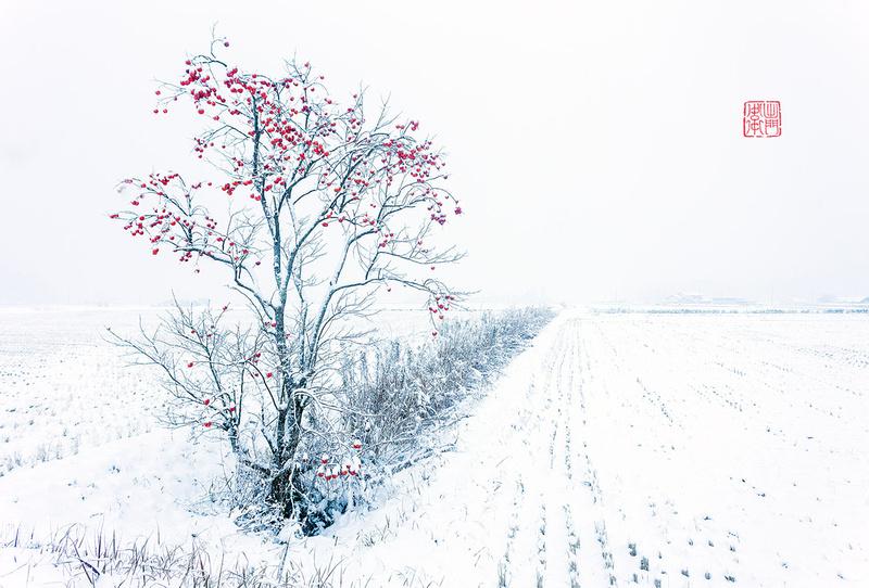 Persimmon-in-Snow-Dfraw-_4856-Websmall-Hanko