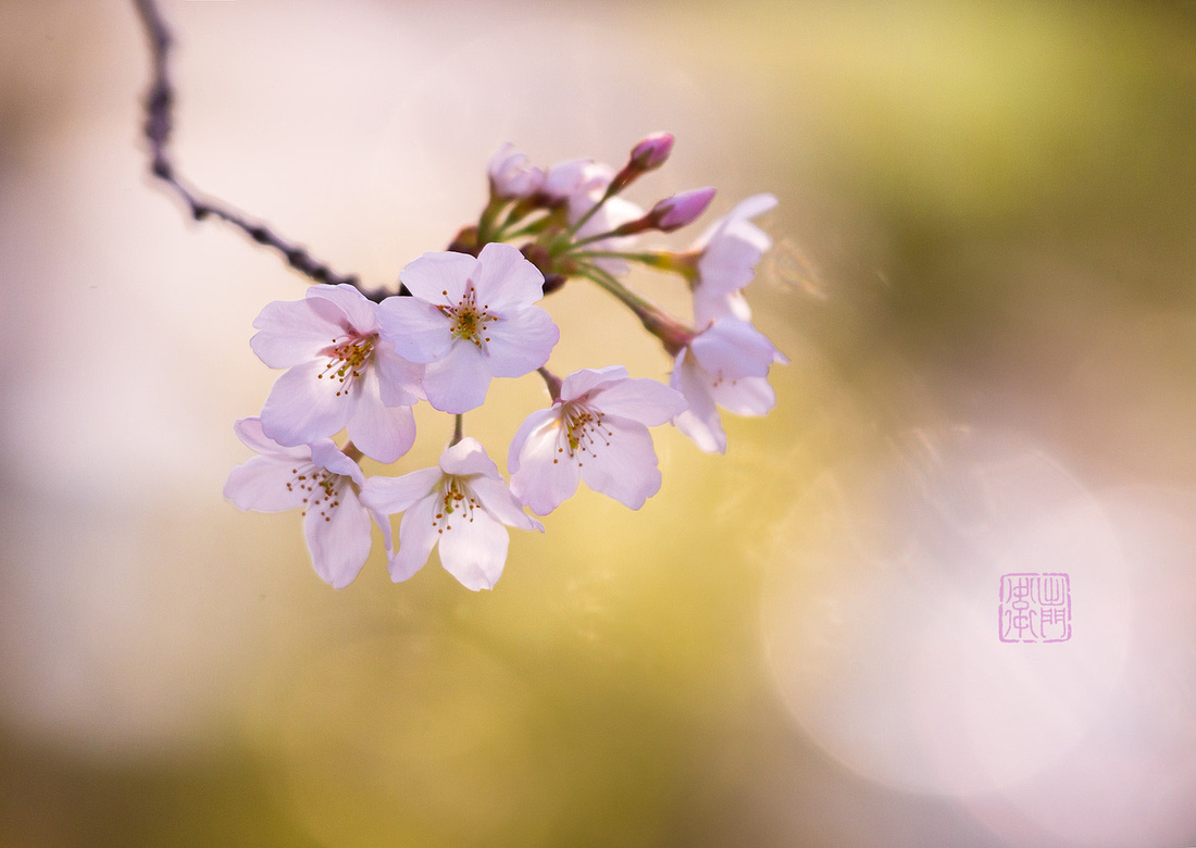 Sakura-Dfraw-_8449-2018Websmall--Hanko