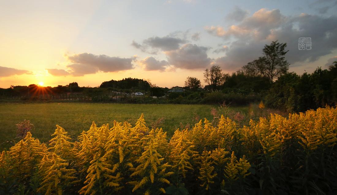 Wild Golden Rod Flowers